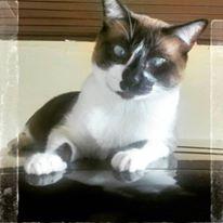 um lindo gatinho siamês de olhos azuis