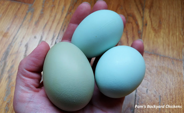 If you're planning your first flock or considering adding some new birds, blue and green egg laying hens ensure you'll have a colorful egg basket all year round.