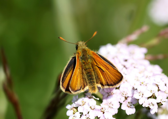 Small Skipper - Kent