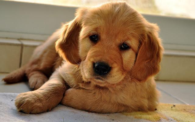 Schattige lieve bruine hond