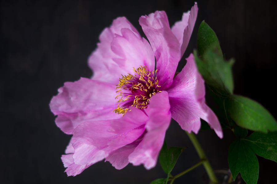 Blog + Fotografie by it's me! | fim.works | Bunt ist die Welt | Blumen | Nahaufnahme einer rosa-fliederfarbenen Bauernpfingstrose