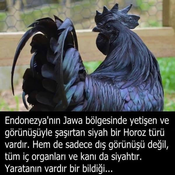 Ayam Cemani: Her Şeyi Siyah Olan Tavuk / Horoz