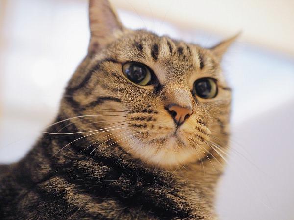 キジトラ猫を下から見上げたところ