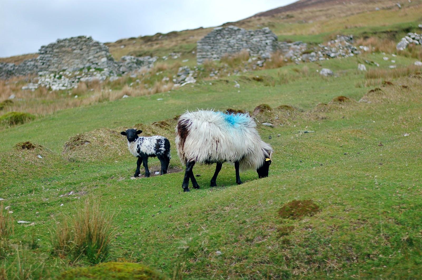 ovelhas irlanda