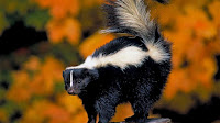 Skunk pictures_Mephitis mephitis