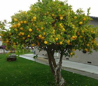 Plantar un árbol de limón