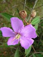 Ada sebagian orang yang menyebutkan flora senggani merupakan flora hias Khasiat dan Manfaat Senggani untuk Kesehatan dan Pengobatan Tradisional