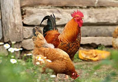 Jenis Bisnis Ternak Ayam yang Menguntungkan