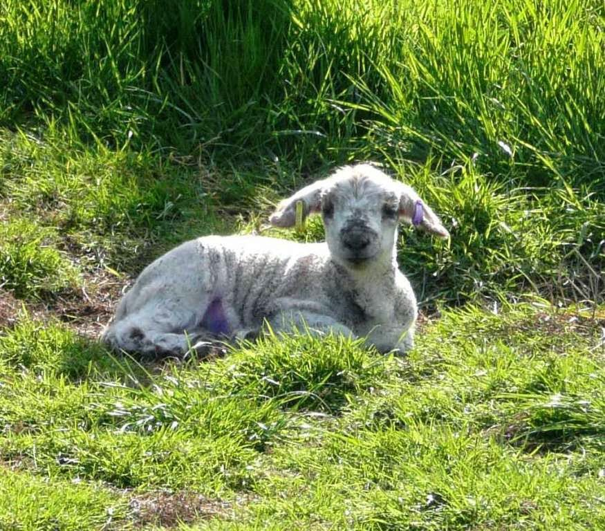 White face at around 14 days old, enjoying the sunshine at the HenSafe Smallholding
