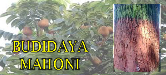 Cara Menanam pohon mahoni, Cara budidaya pohon mahoni yang benar, jarak tanam pohon mahoni, masa panen pohon mahoni, cara menyemai biji mahoni, Tanaman Perkebunan, Manfaat pohon mahoni