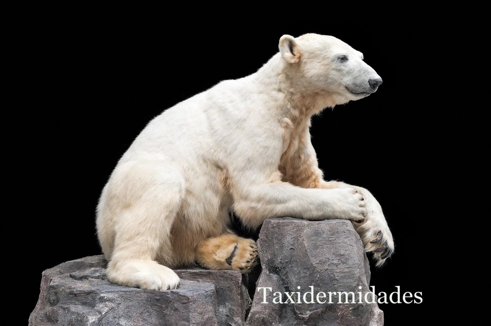 """Knut"", el popular oso polar del Zoo de Berlín.   Taxidermidades"