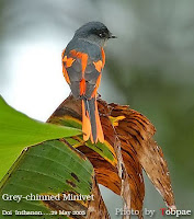 burung sepah atau mantenan