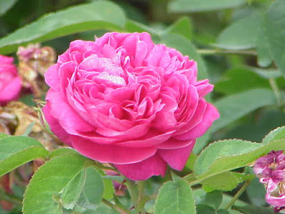 Damask roses are a means for farmers to make a living better in many ways than from poppies.