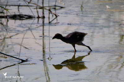 Pollo de calamón común (Porphyrio porphyrio) en la reserva gestionada por SEO/BirdLife. Blue Nature