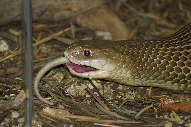 Snakes: Snakes Eating Mice - photo#29