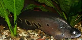 ikan predator air tawar langka