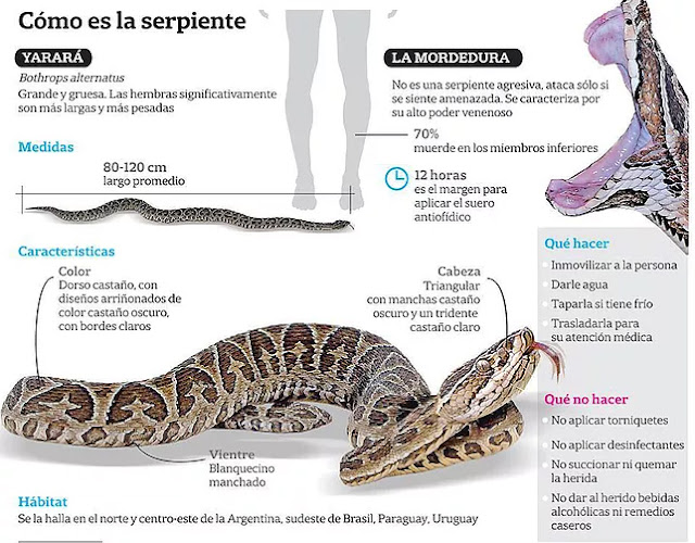 Cómo actuar en caso de un ataque de una serpiente yarará?