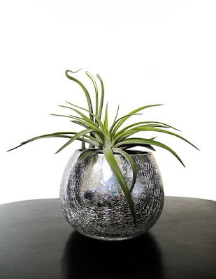 How to Care for Air Plants Like the Pros-A Definitive Guide