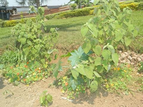 Guca Imyeyo: Abaganga Gakondo Baha Umuti Abatarabikoze bakiri Bato