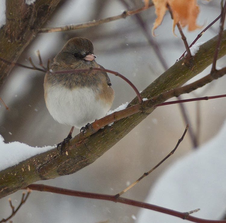 A beautiful female Dark-eyed Junco (Junco hyemalis) sits on a branch in the snow. He light grey and brown feathers contrast nicely with the white of the snow.