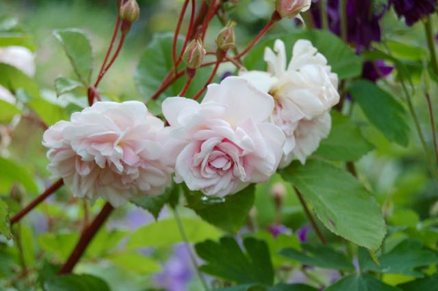 DUTCH GARDEN STORIES: 'Old Blush', a rose with a history.