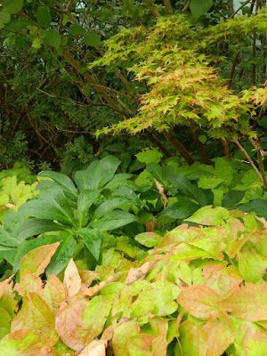 Hellebore, epimedium and 'Coonara Pygmy Japanese maple at the Toronto Botanical Garden by garden muses-not another Toronto gardening blog