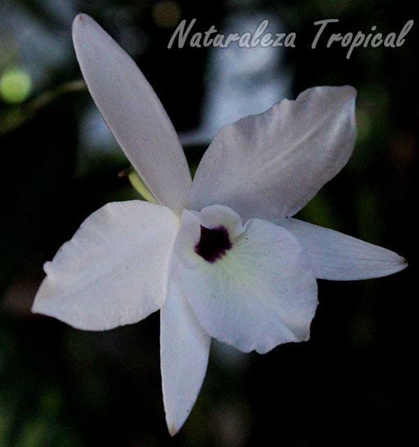 Otra foto de la Flor de Colmena, Laelia rubescens
