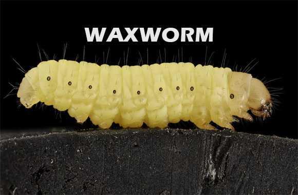 Waxworm - Cacing Pemakan Limbah Plastik