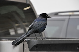 black bird sitting on the side of a truck