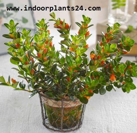 Nematanthus GOLDFISH PLANT indoor house plant