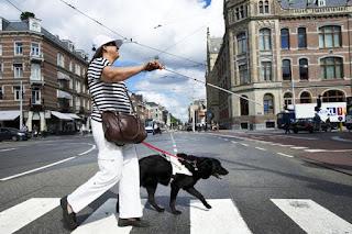 Geleidehond aan het werk, is veilig door het verkeer