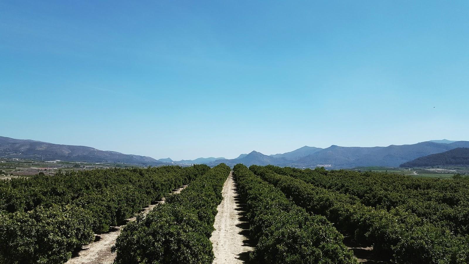 Orange groves - Roda la Vall d'Albaida