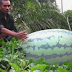 Semangka Terbesar Dari Aceh Utara Lebih Seratus Kilogram