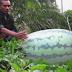 Semangka Terbesar Dari Aceh Utara Lebih Seratus Kilogram Beratnya, Luar Biasa