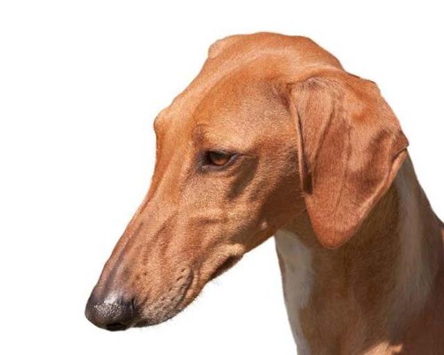 Giống chó Azawakh