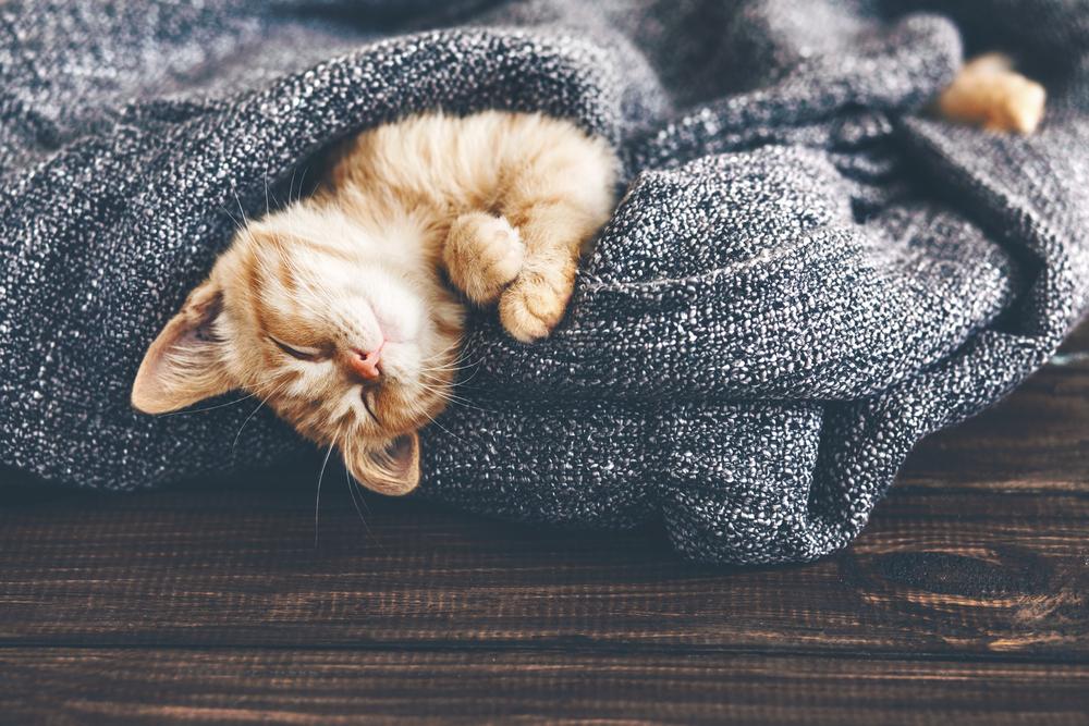Jaga suhu tubuh anak kucing anggora agar tetap hangat