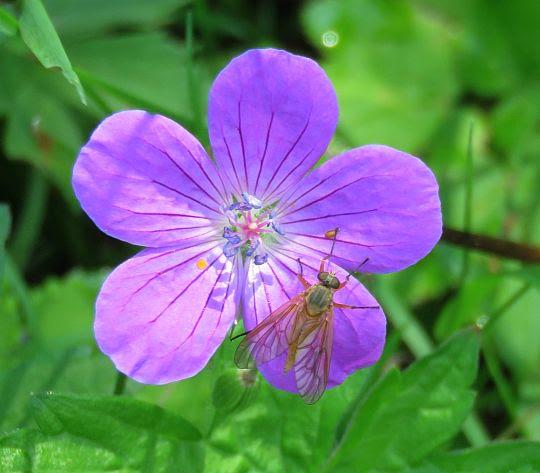 Bodziszek leśny (Geranium sylvaticum).