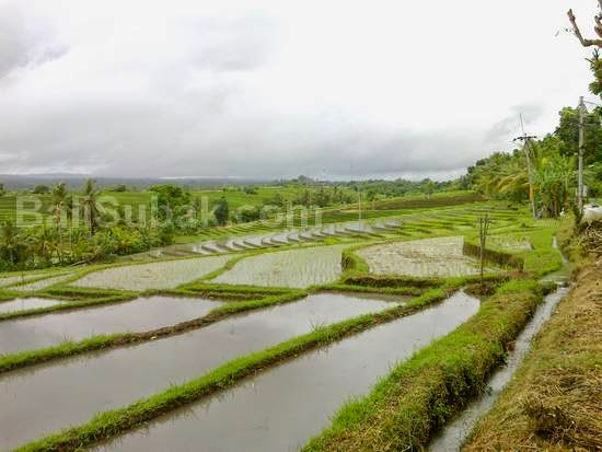 Soka village in Tabanan, paddy fields