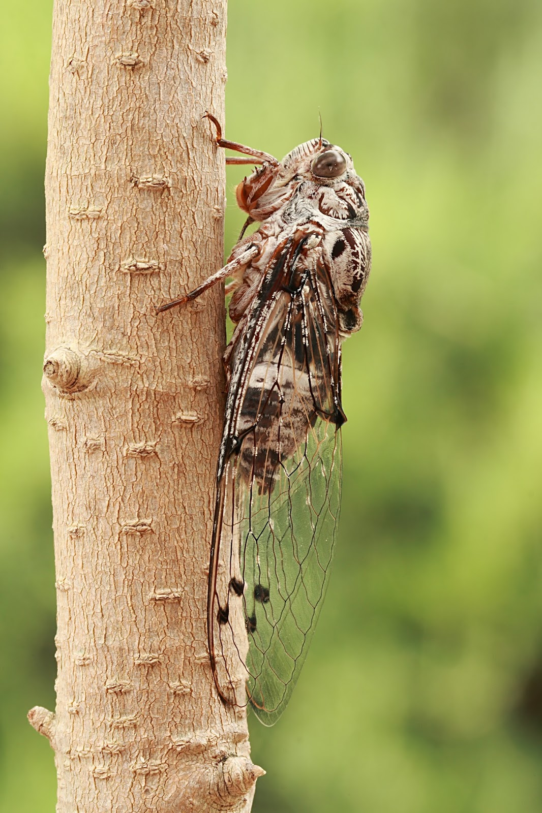 Insects: Floury Baker cicada side