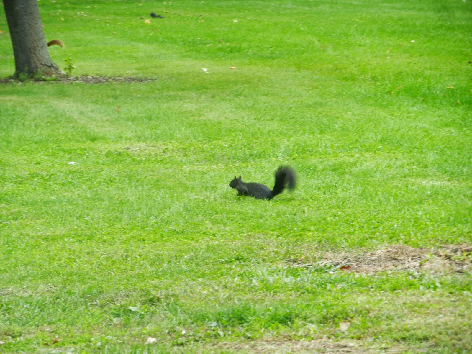 midwest black squirrels