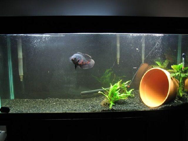 Akuarium untuk Ikan Oscar