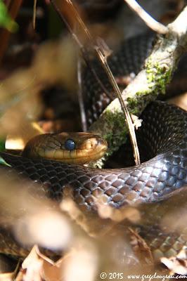 Couleuvre d'Esculape, Zamenis longissimus, Rocher Canon, Fontainebleau, (C) 2015 Greg Clouzeau