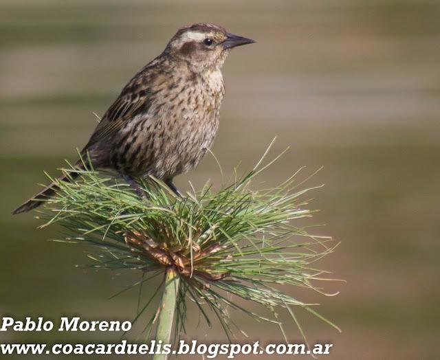 """alt=""""varillero alas amarillas hembra,Agelasticus thilius,aves de Mendoza)"""