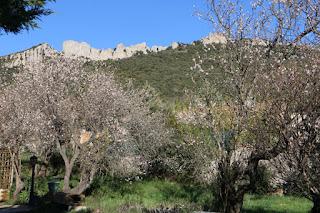 amandiers en fleurs sous le château de Peyrepertuse