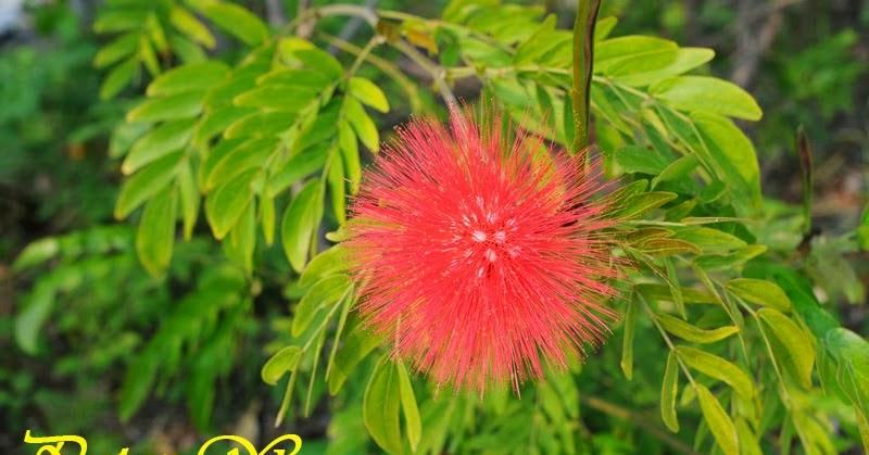 【南國群芳譜】[Flora Australis]: 紅絨球 Calliandra haematocephala