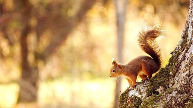 Dieren achtergrond met een bruine eekhoorn in een boom
