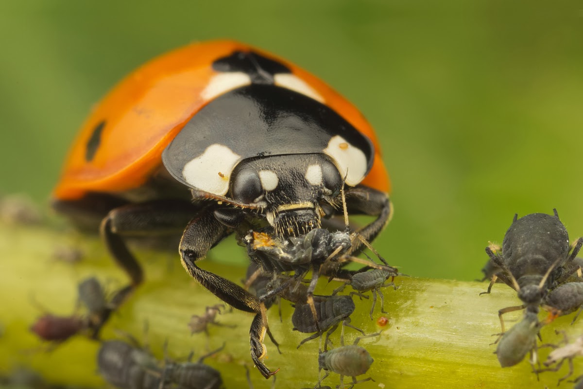Adult ladybird eating blackfly on a stem