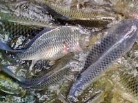 Panduan Cara Budidaya Ikan Nila, Lengkap Dengan Langkah demi Langkah