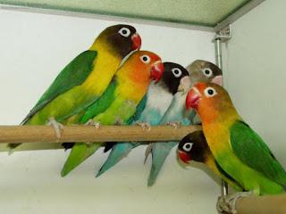 Ternak Lovebird untuk Pemula