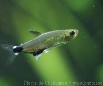 Dawn Tetra Fish, Aphyocharax paraguayensis (Eigenmann, 1915)